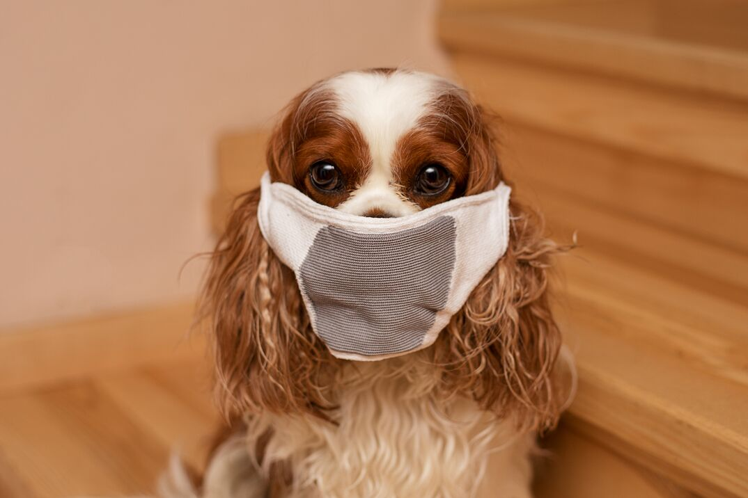 Pet dog sits in a mask and looks at camera on the stairs in home  Cavalier King Charles Spaniel  Close-up photo  The safety of family members
