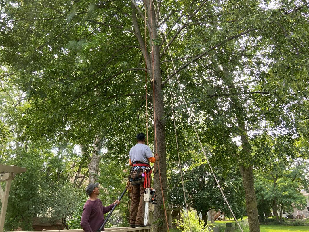 Men use safety harnesses to ascend into a tall Linden tree to prune its branches with a chainsaw