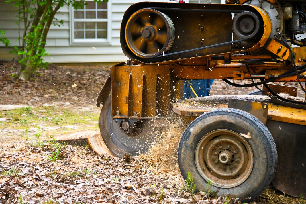 A Stump Grinding Machine in action Removing a Stump from Cut Down Tree