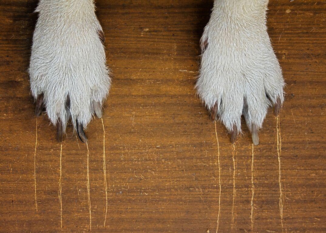 Dog paws scratching hardwood floor