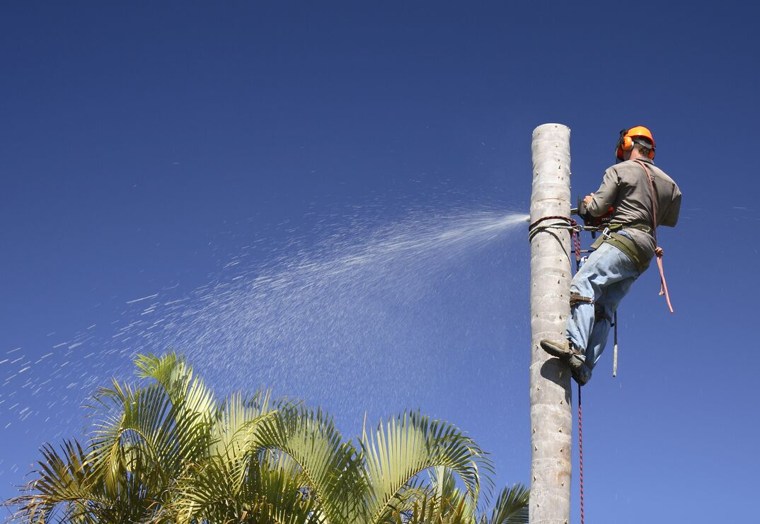 Man suspended from a palm tree with a safety harness is using a chainsaw to remove the top of the tree
