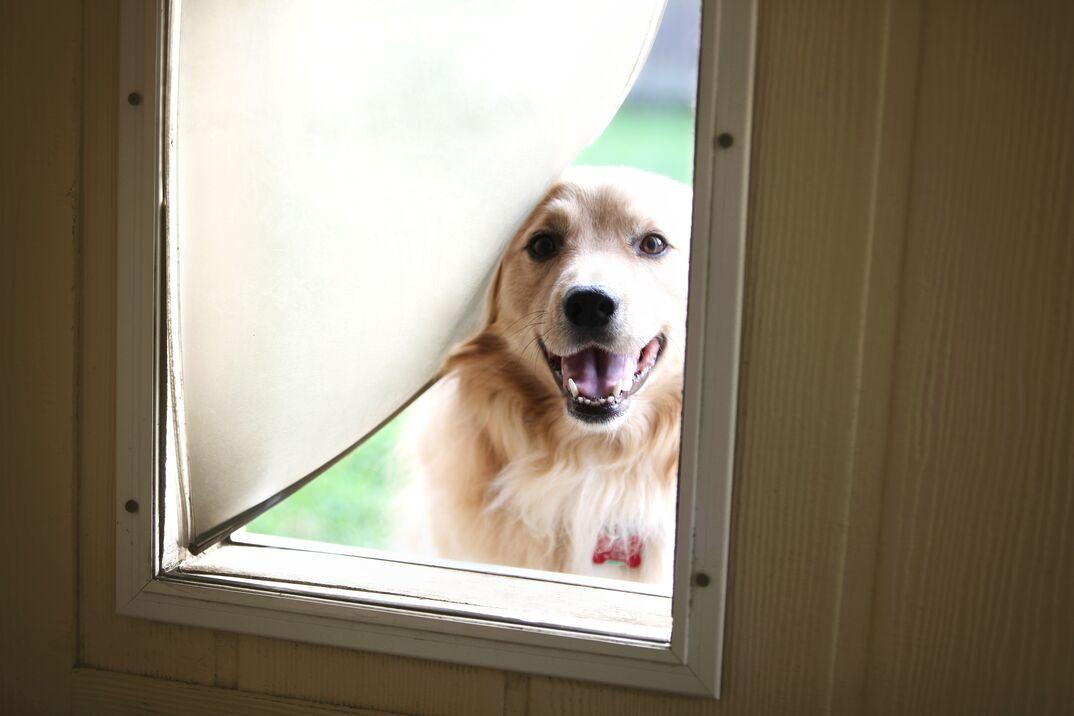 Golden retriever peering out of a  dog door