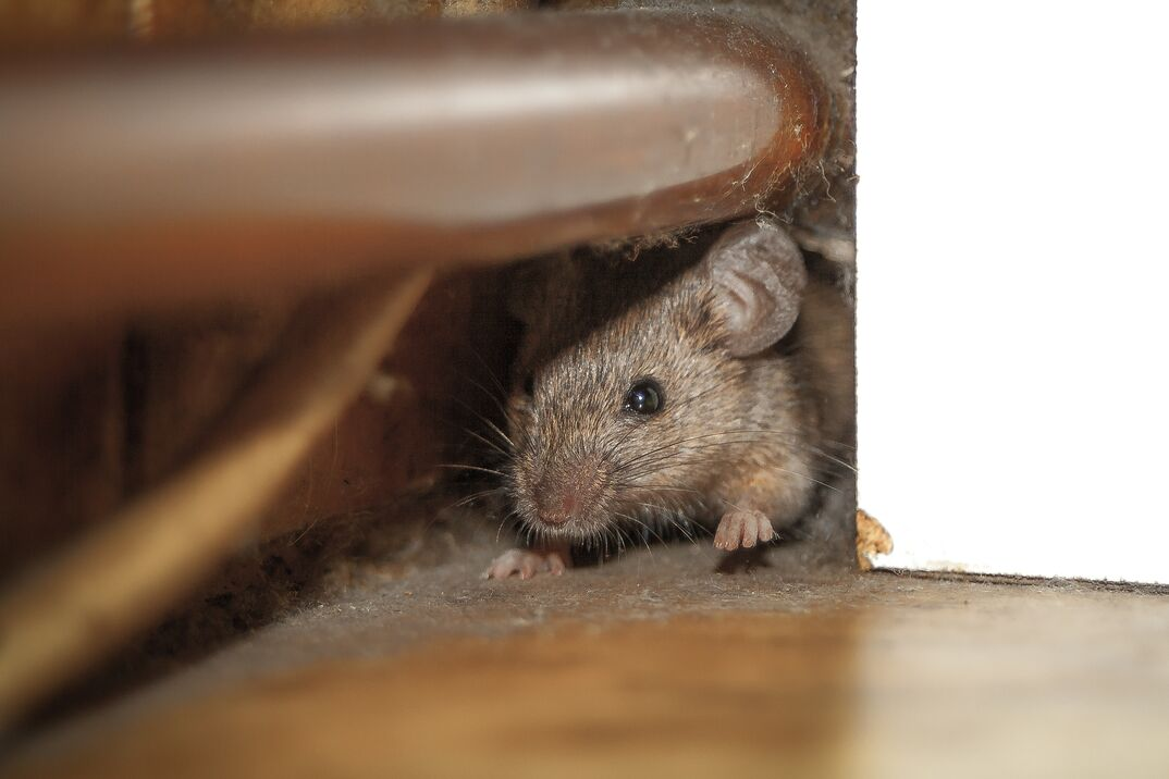 Close up shot of mouse peeking out of the dusty hole behind white furniture and under copper pipe